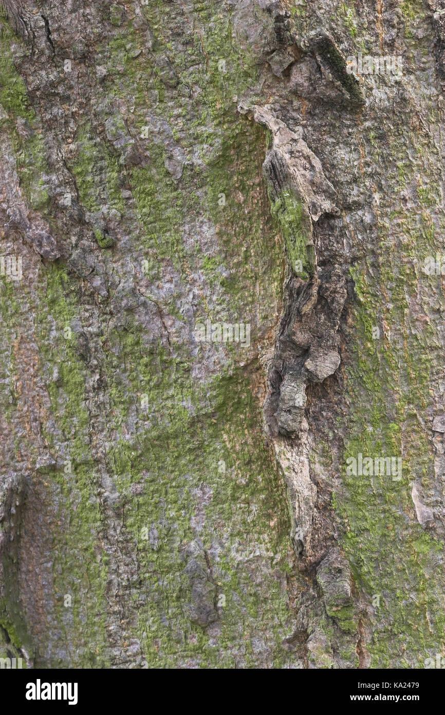 Celtis occidentalis-occidentale zürgelbaum-pianta