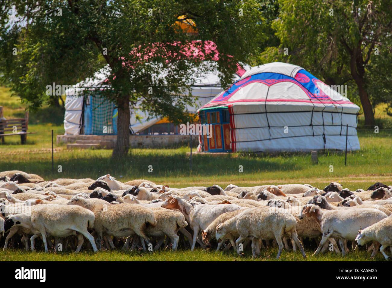 Allevamento di ovini nella prateria della Mongolia interna e la yurta dove il popolo mongolo vive nelle zone rurali Immagini Stock