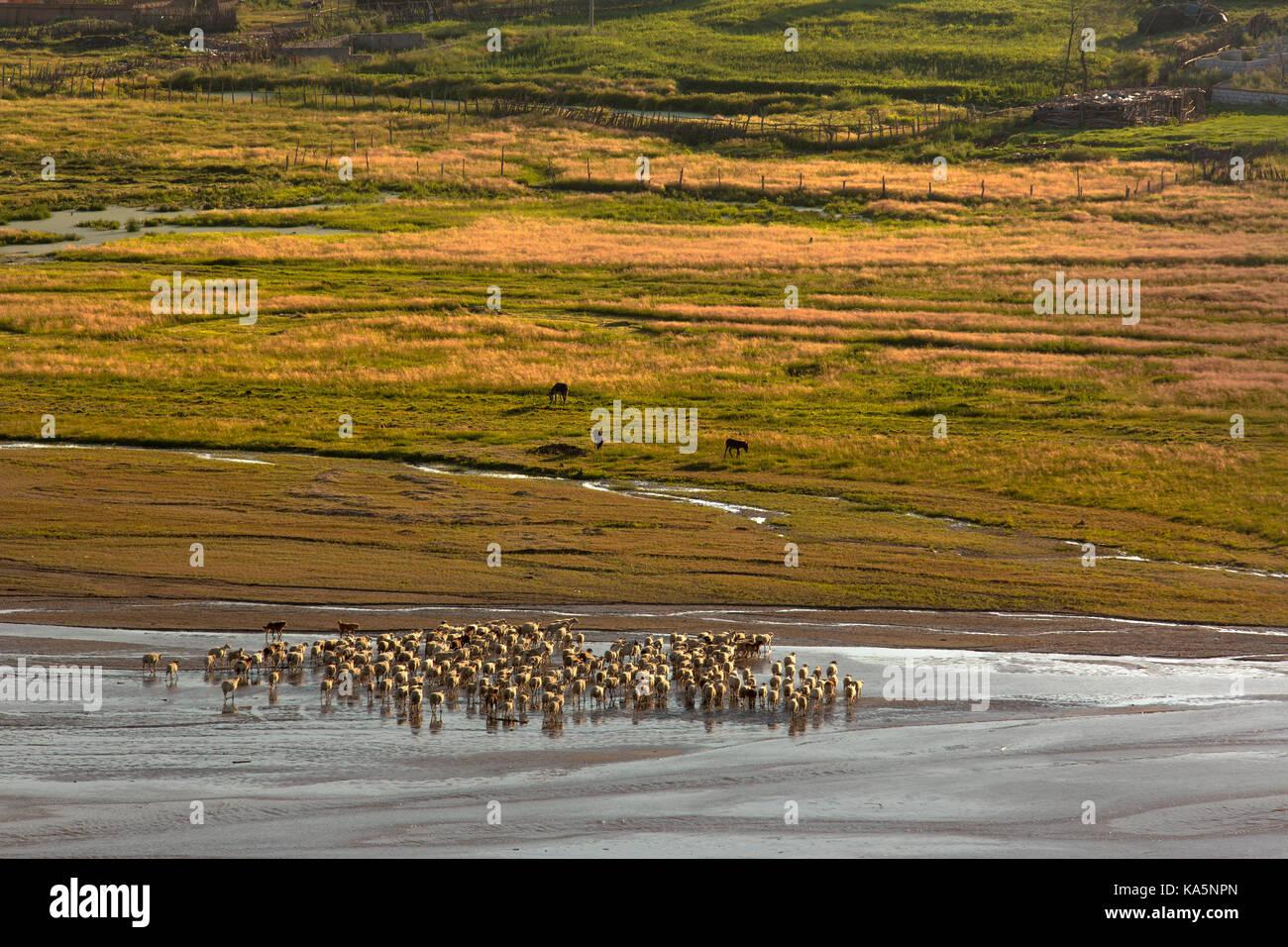 Allevamento di ovini Passeggiate sul fiume poco profondo Immagini Stock