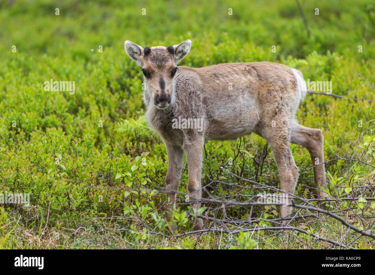 La renna di vitello, rangifer tarandus, Gällivare, Lapponia svedese, Svezia Immagini Stock