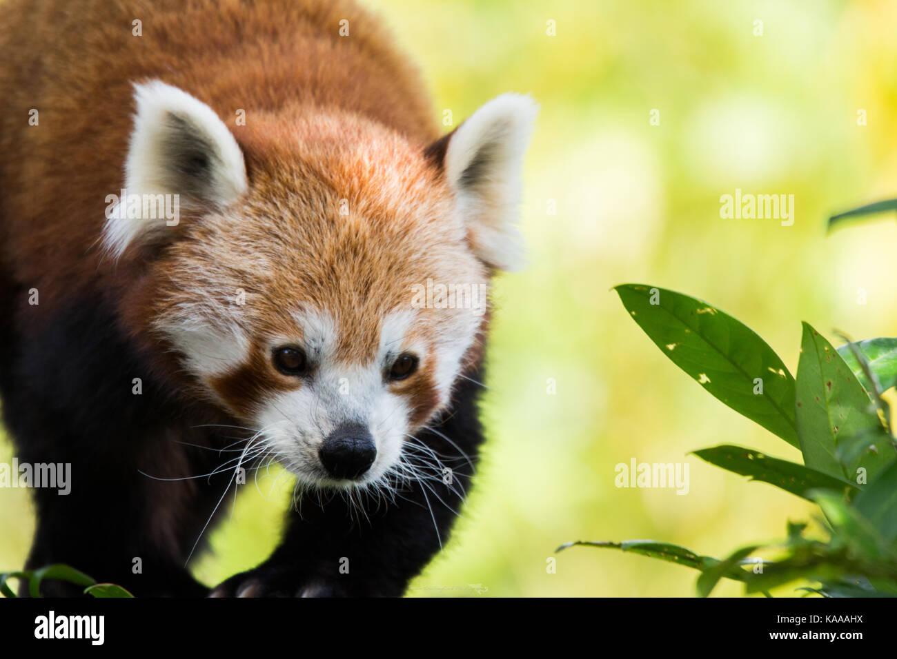Panda rosso stalking il suo cibo Immagini Stock