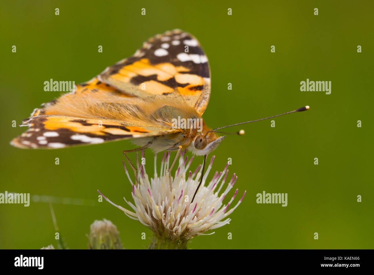 Dipinto di Lady (Vanessa cardui) adulto alimentazione a farfalla su un fiore di cardo. Powys, Galles. Giugno. Foto Stock