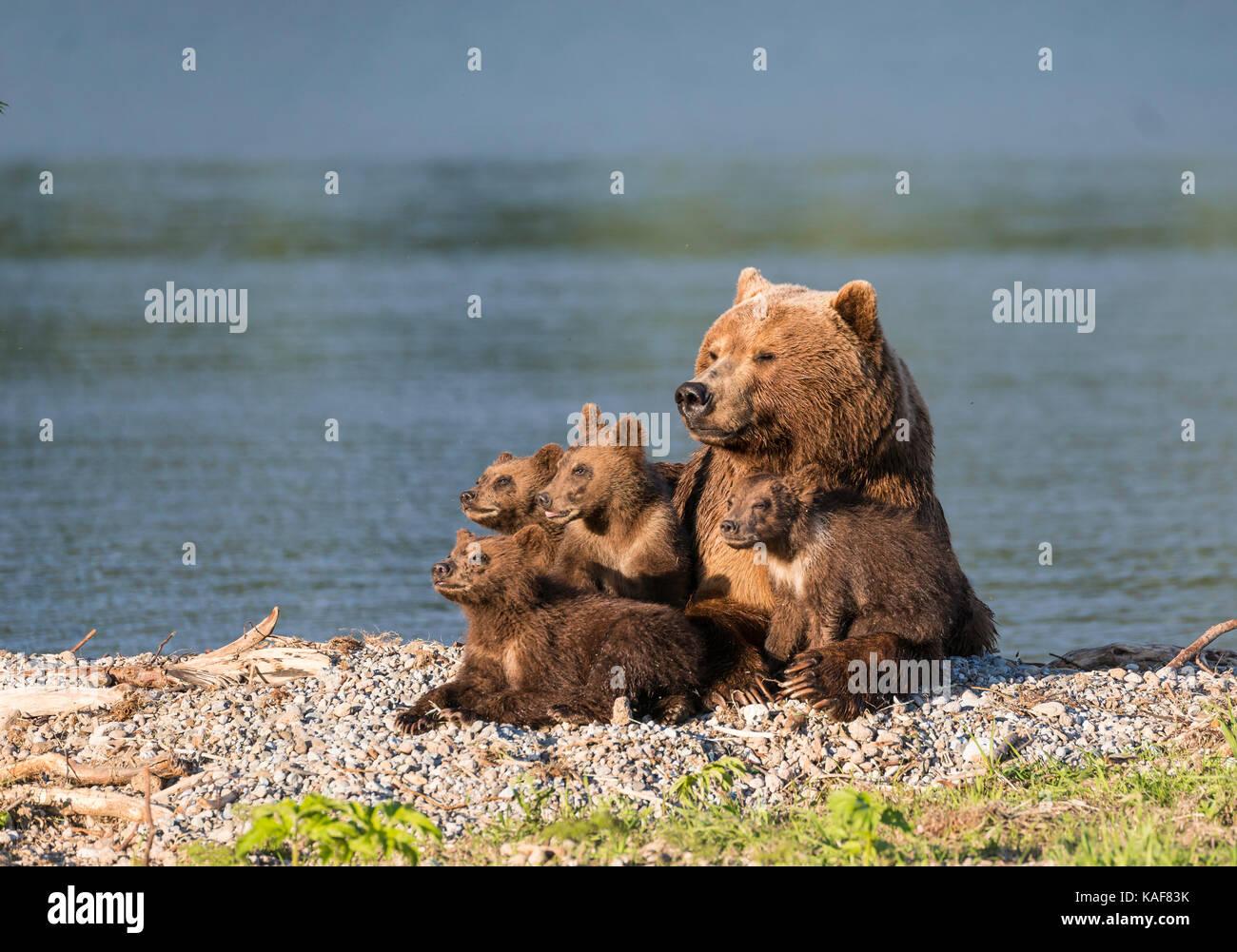 Madre orso bruno e i suoi quattro cuccioli in appoggio al pomeriggio di sole a bordo del lago curili, kamchatka, Immagini Stock