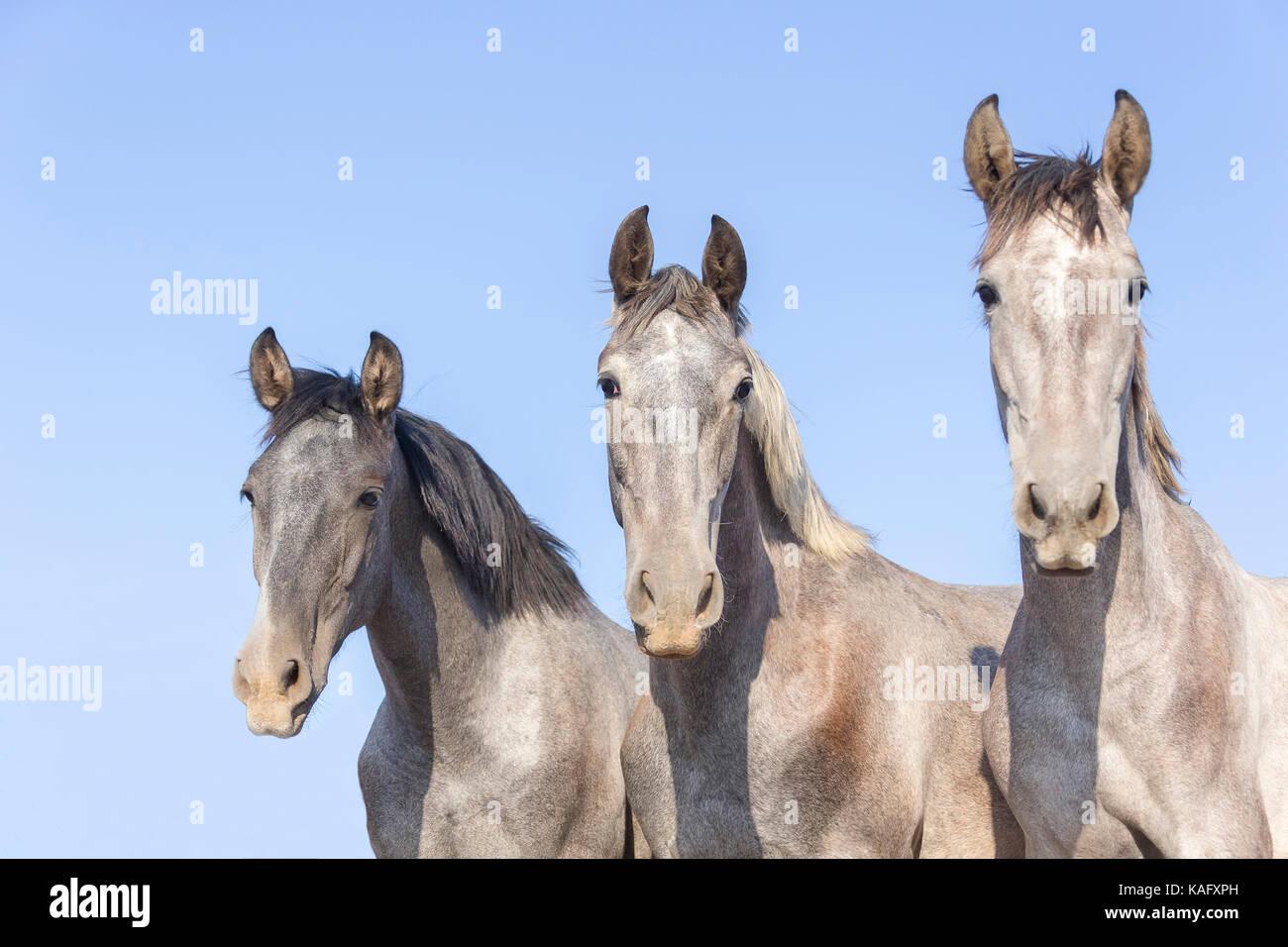 Puro Cavallo Spagnolo andaluso. Ritratto di tre capretti stalloni su un pascolo. Spagna Immagini Stock