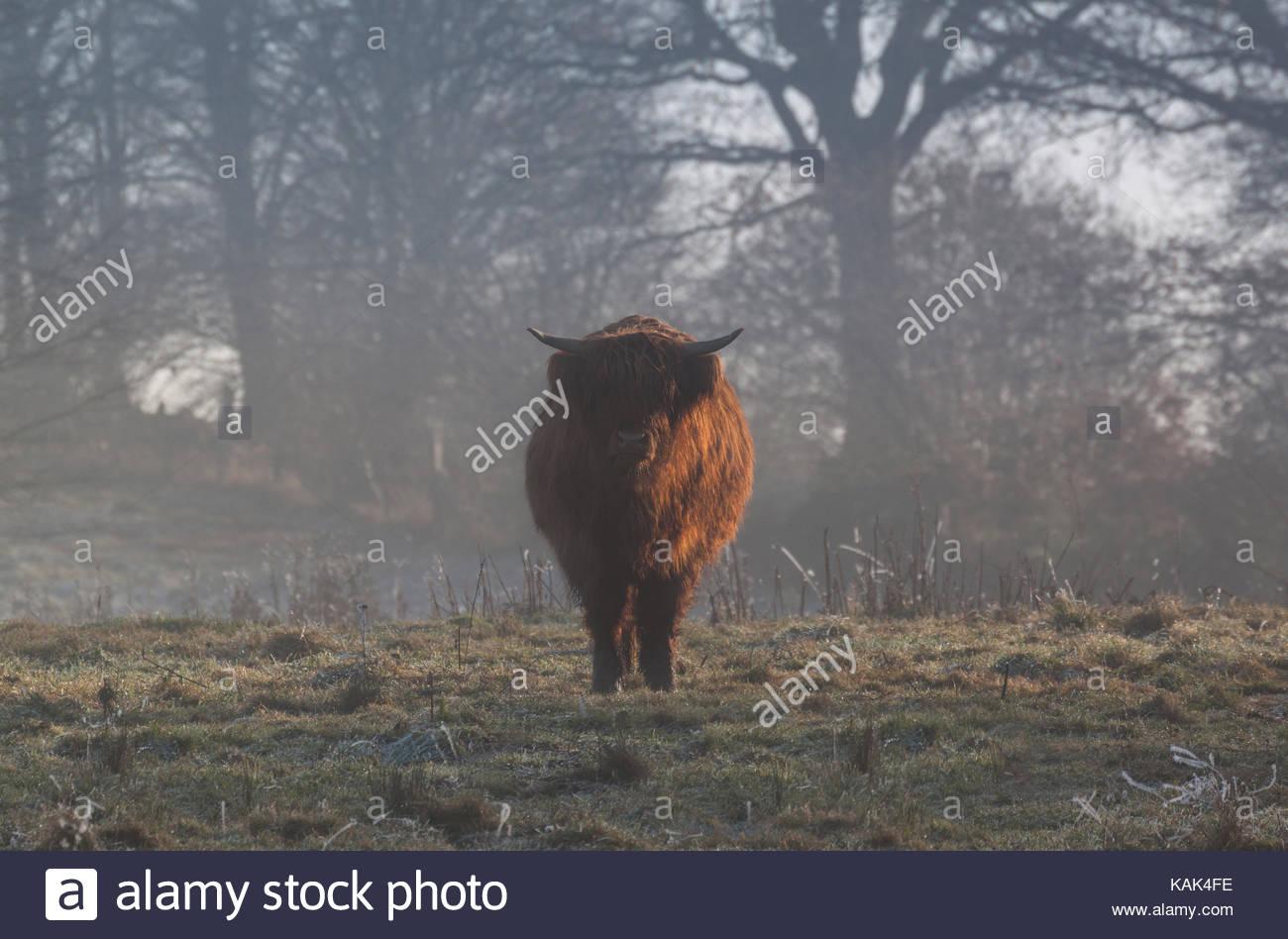Highland bovini con lunghe corna su un campo nevoso in inverno. Immagini Stock