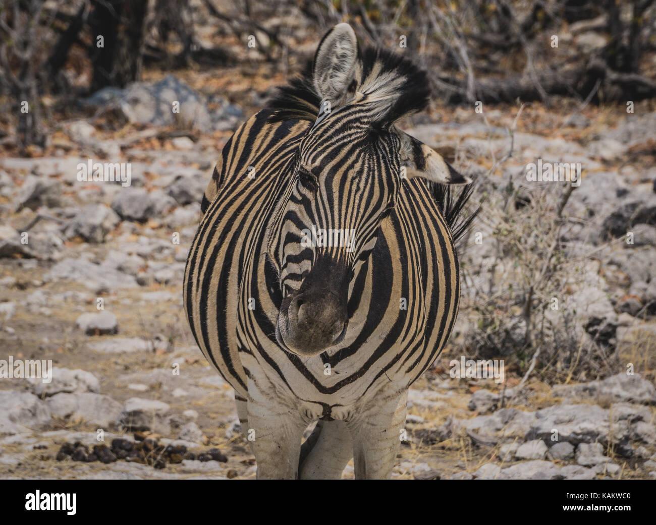 Bella portret zebra nel parco nazionale Etosha Immagini Stock