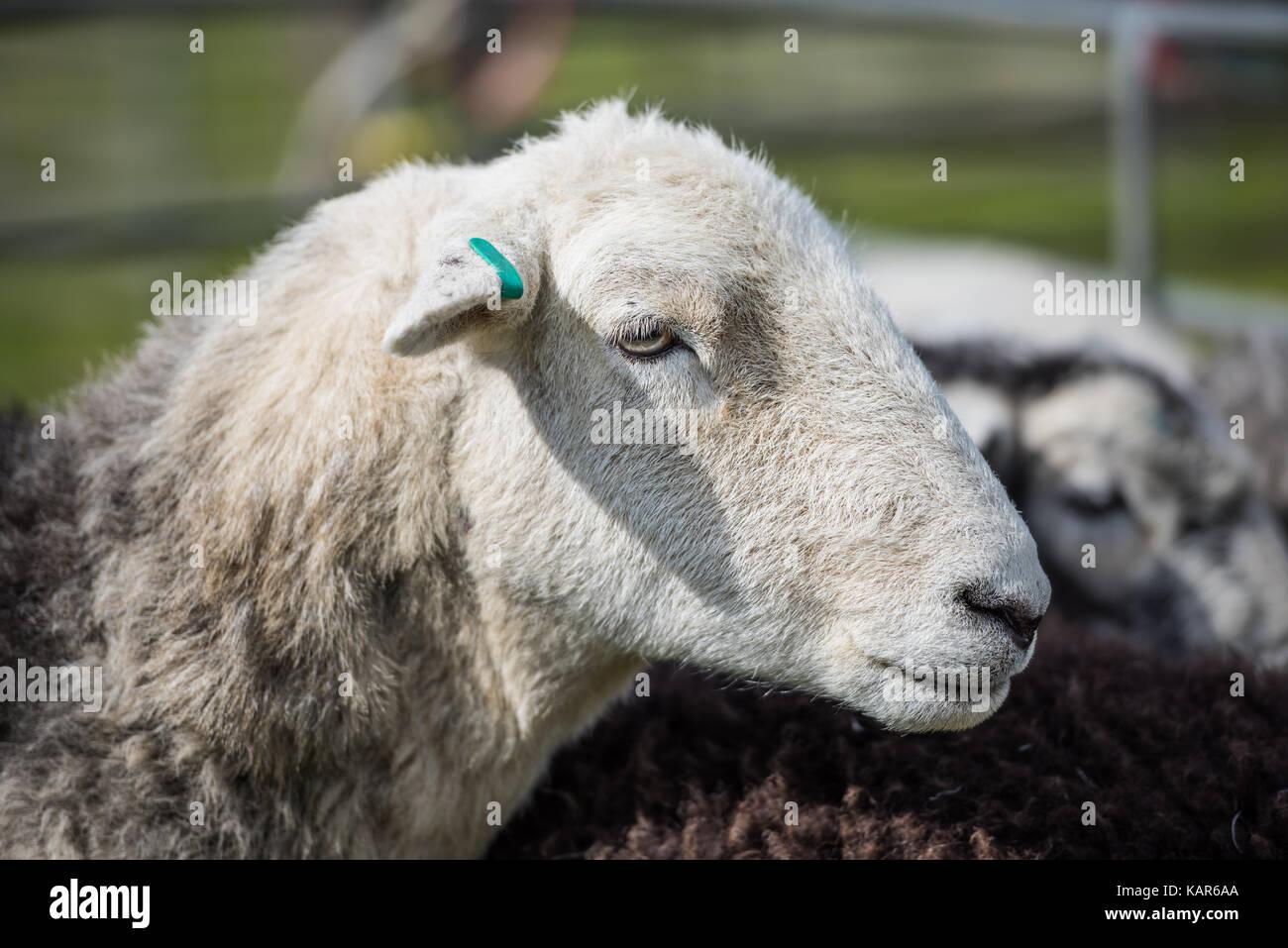 Pecore Herdwick giudicare, Southern Agricultural Show, Isola di Man. Immagini Stock