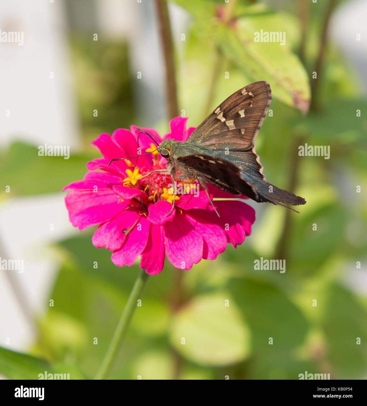 Offuscato skipper butterfly sul magenta zinnia Immagini Stock