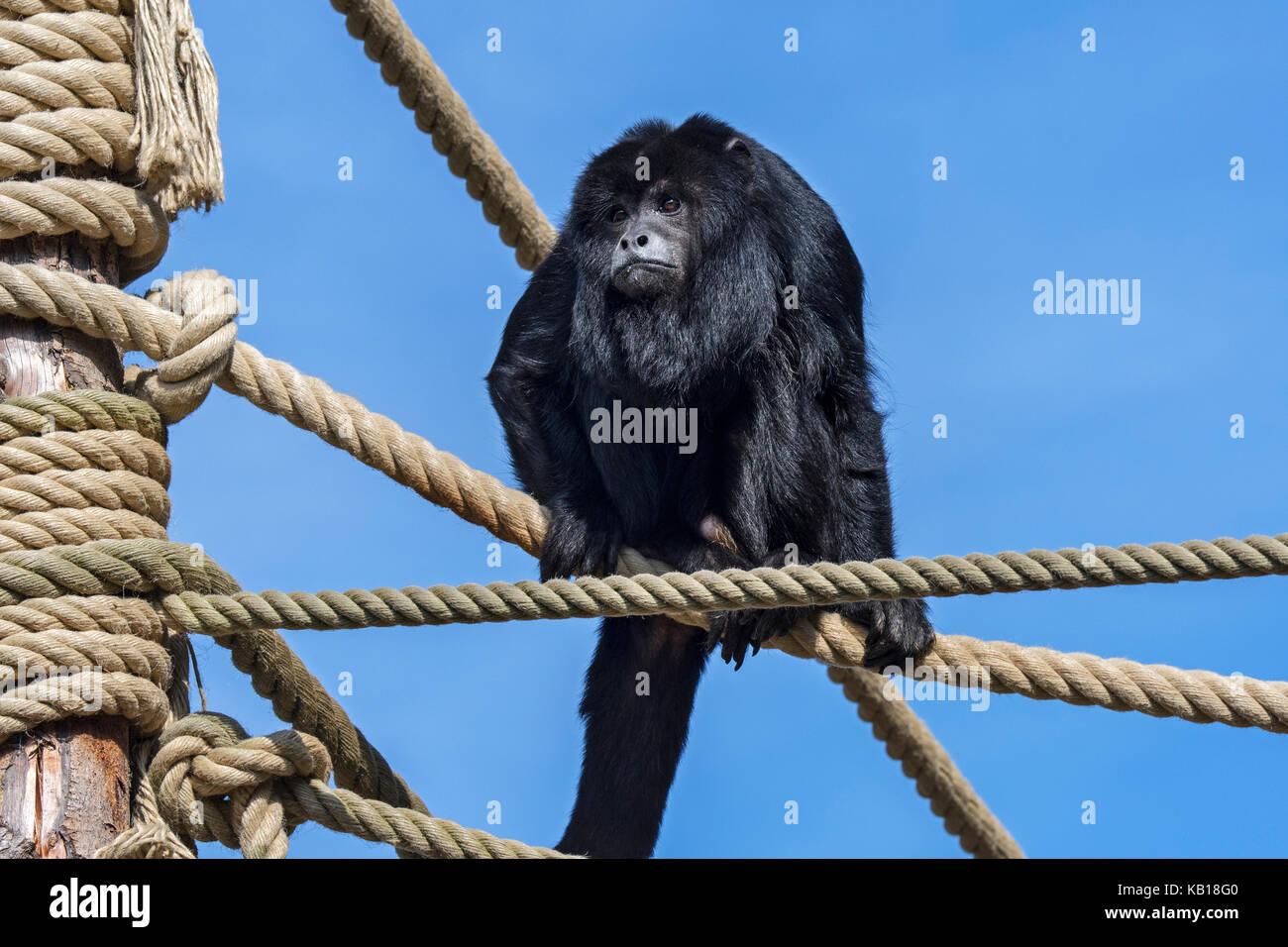 Nero scimmia urlatrice / nero-e-gold howler (Alouatta caraya) maschio in cattività originario del sud america Immagini Stock