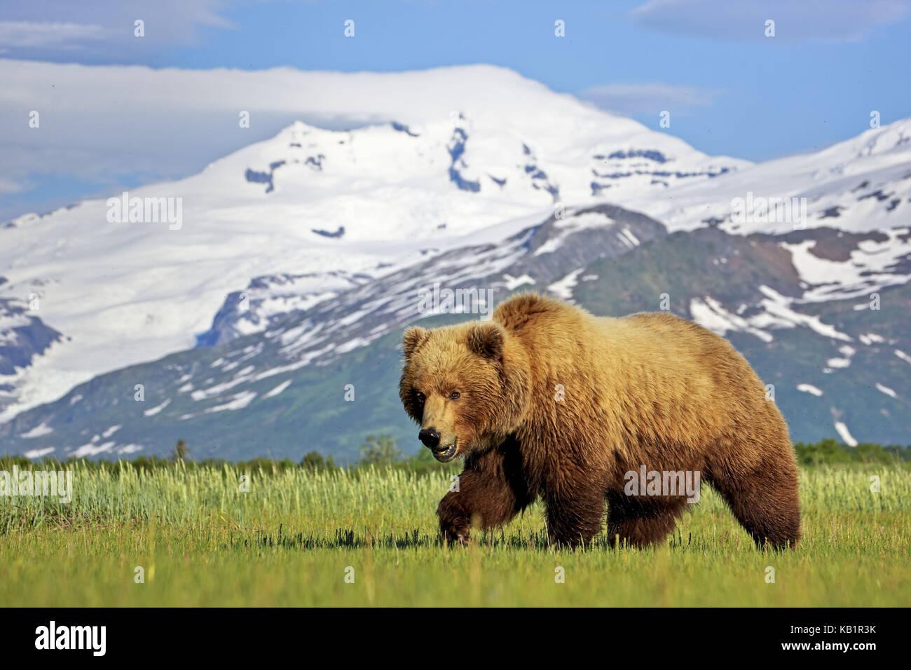 Nord America, USA, Alaska katmai national park, ciao, baia di orso bruno Ursus arctos, Immagini Stock