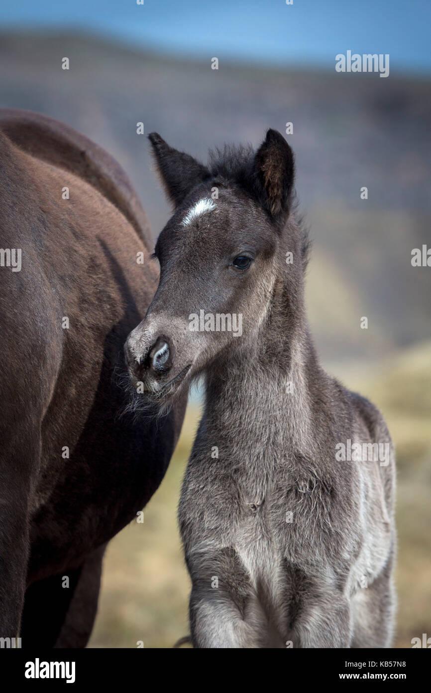 Puledro neonato, Islanda, islandese riproduttori di razza di cavalli, Islanda Immagini Stock