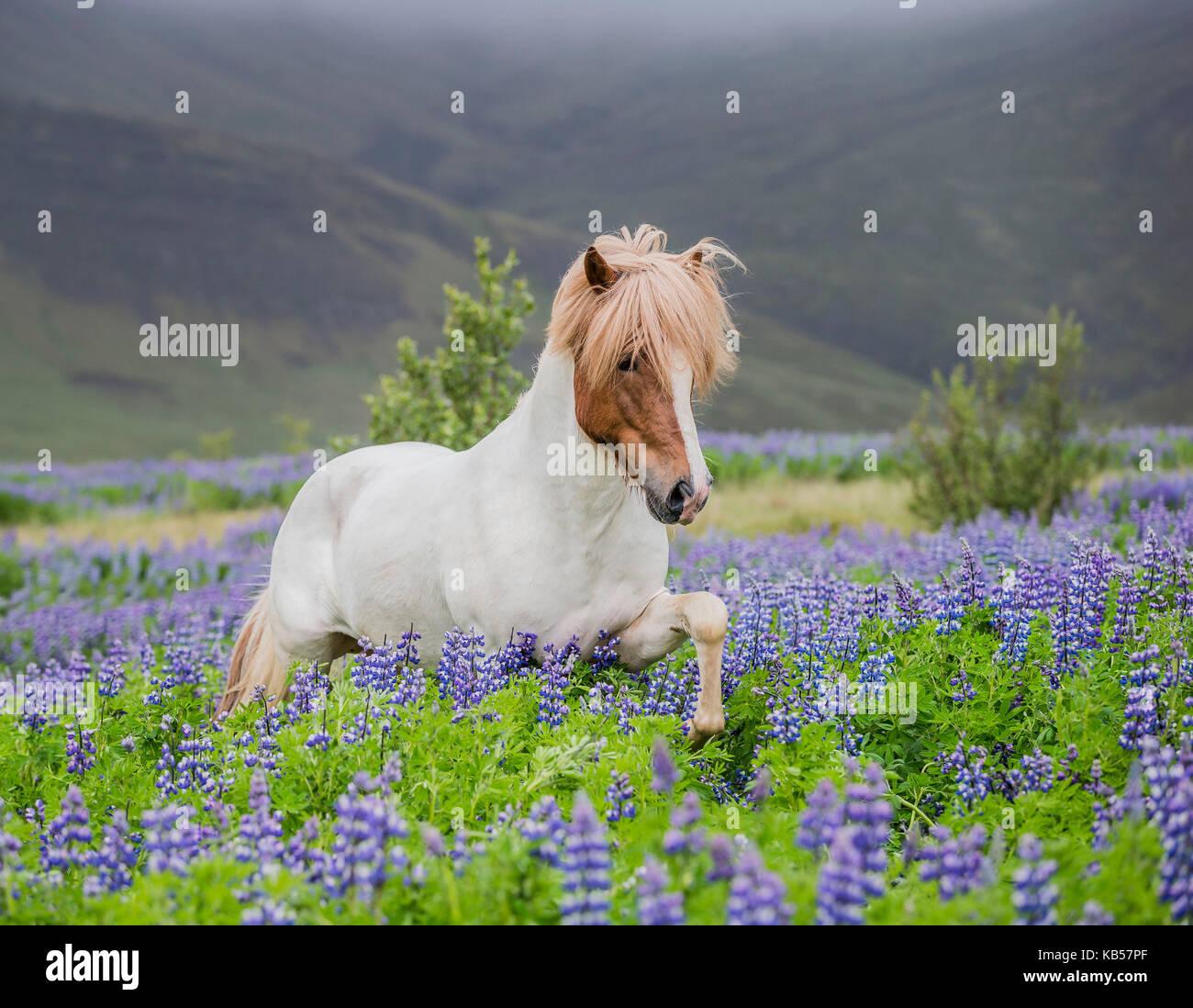 Cavallo islandese in esecuzione in campi di lupino, razza di cavalli islandesi in estate con la fioritura di lupini, Immagini Stock