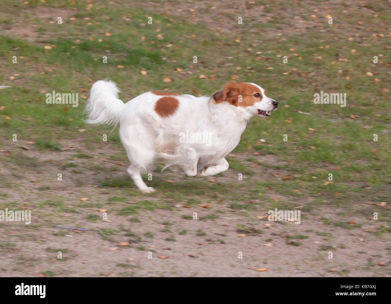 Il kooikerhondje 2017 è una spaniel tipo di cane di ascendenza olandese Immagini Stock