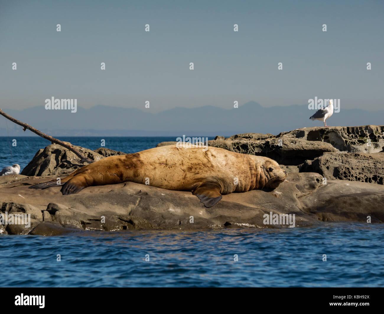 Maschio enorme steller leoni di mare di bagni di sole foto
