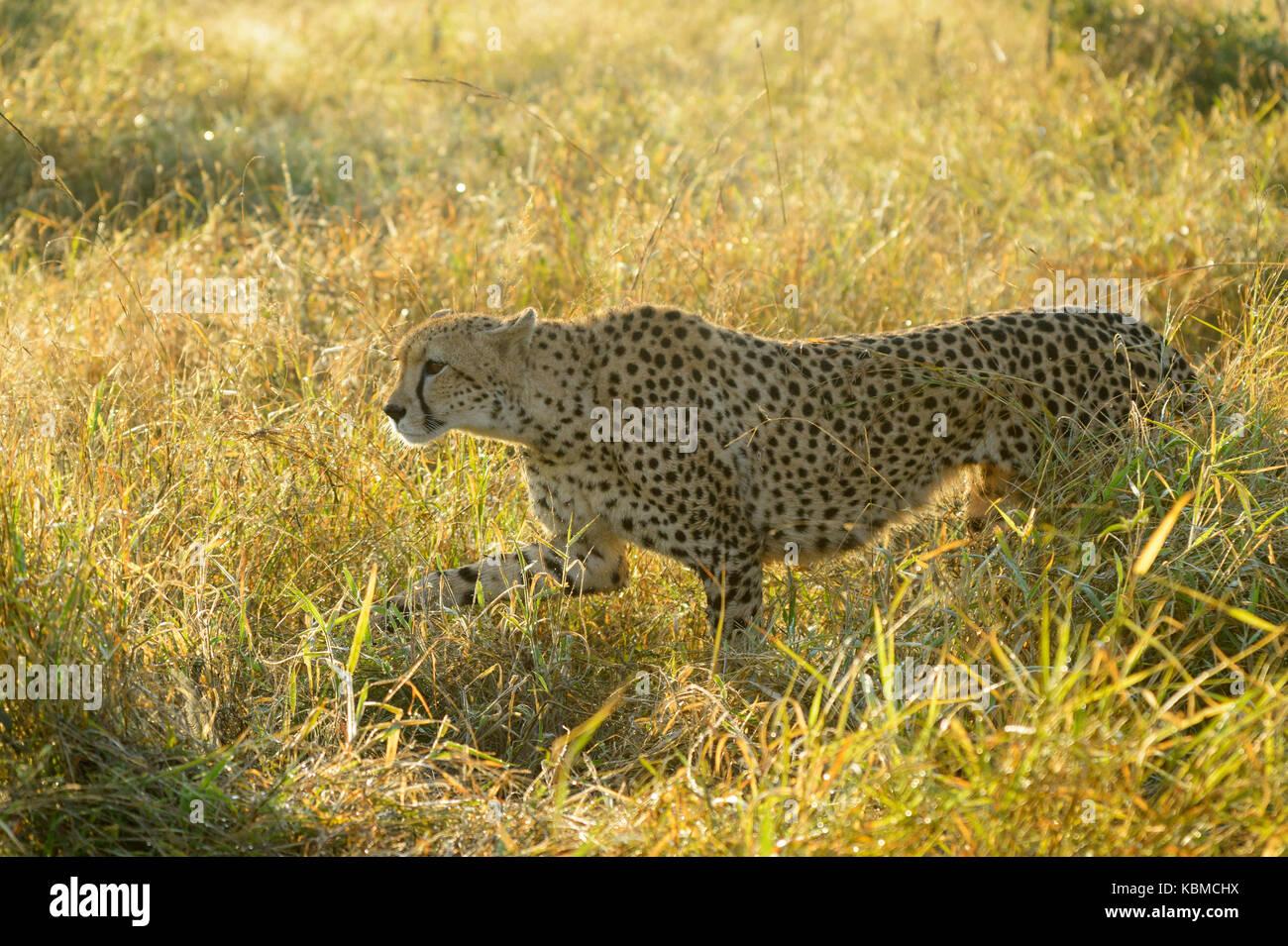 Ghepardo (Acinonyx jubatus) passeggiate in erba con retroilluminazione, parco nazionale Kruger, Mpumalanga, sud Immagini Stock