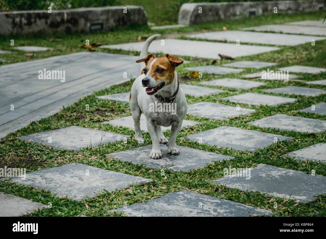 Jack rusell cane in un giardino con piastrelle di pietra ed erba