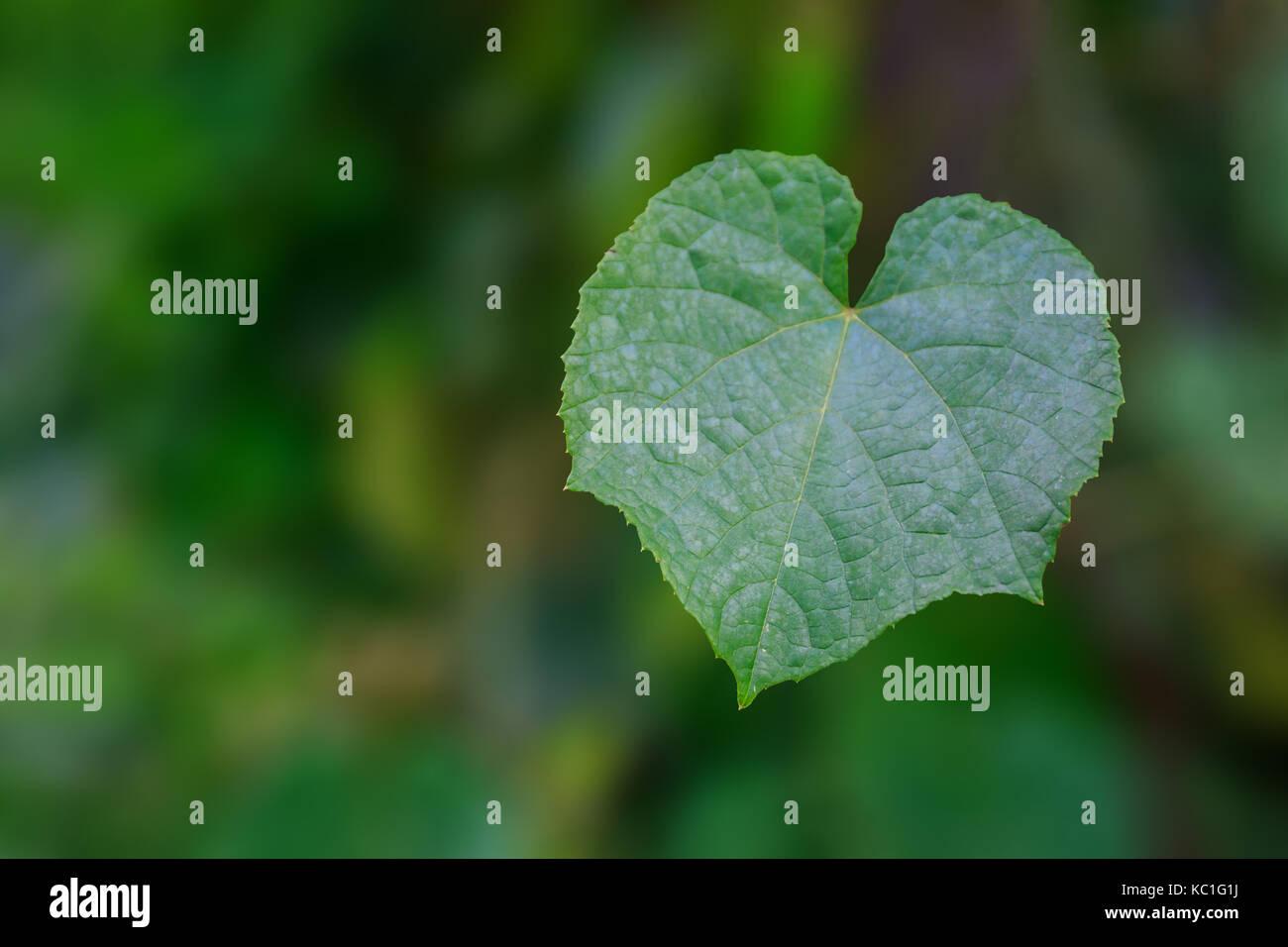 Foglia verde a forma di cuore con sfondo sfocato. Foto Stock