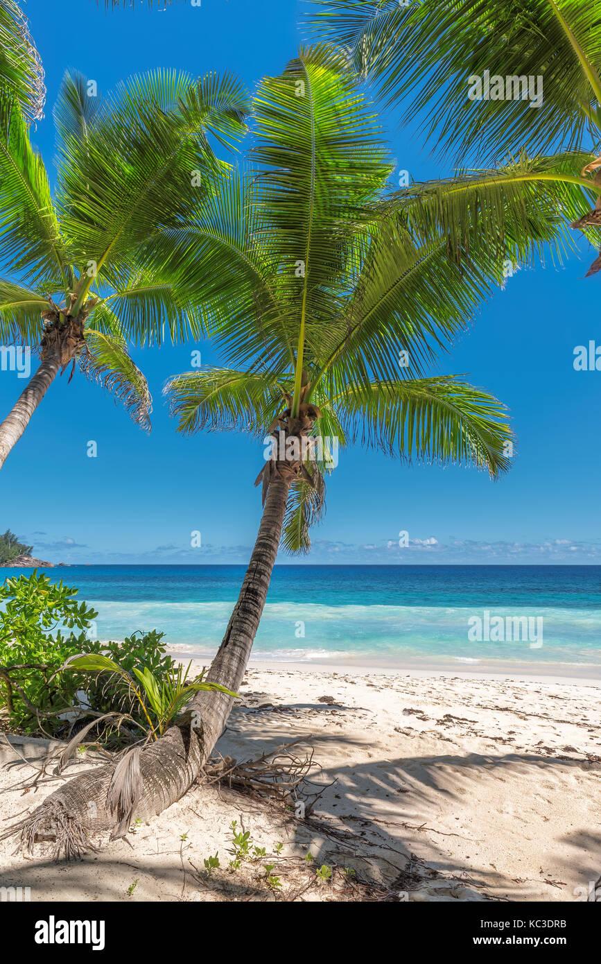 Le palme e la spiaggia tropicale Immagini Stock