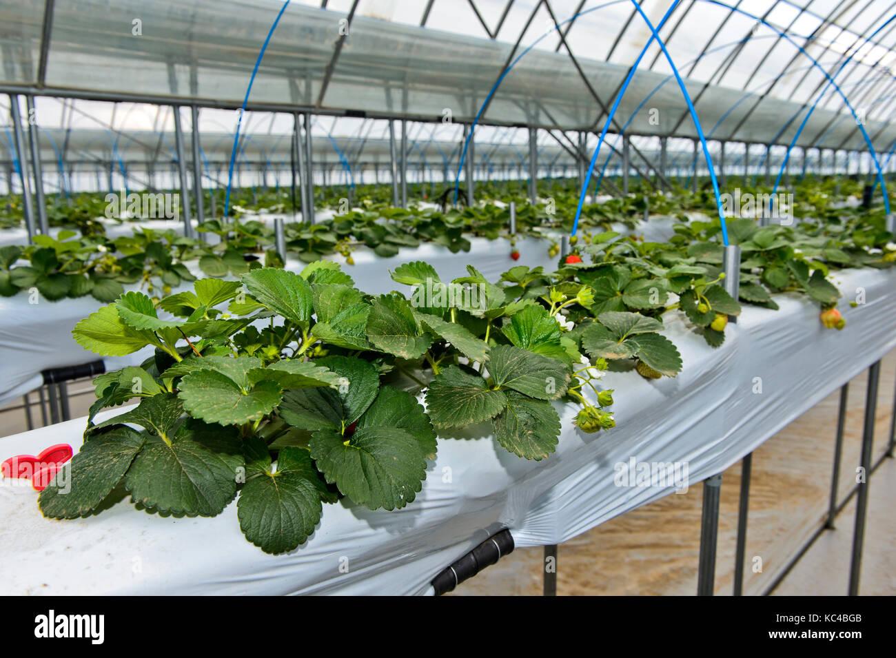 La produzione di fragole in suolo privo di substrati in una serra, sito monnaran, mongolo-giapponese di joint venture Immagini Stock