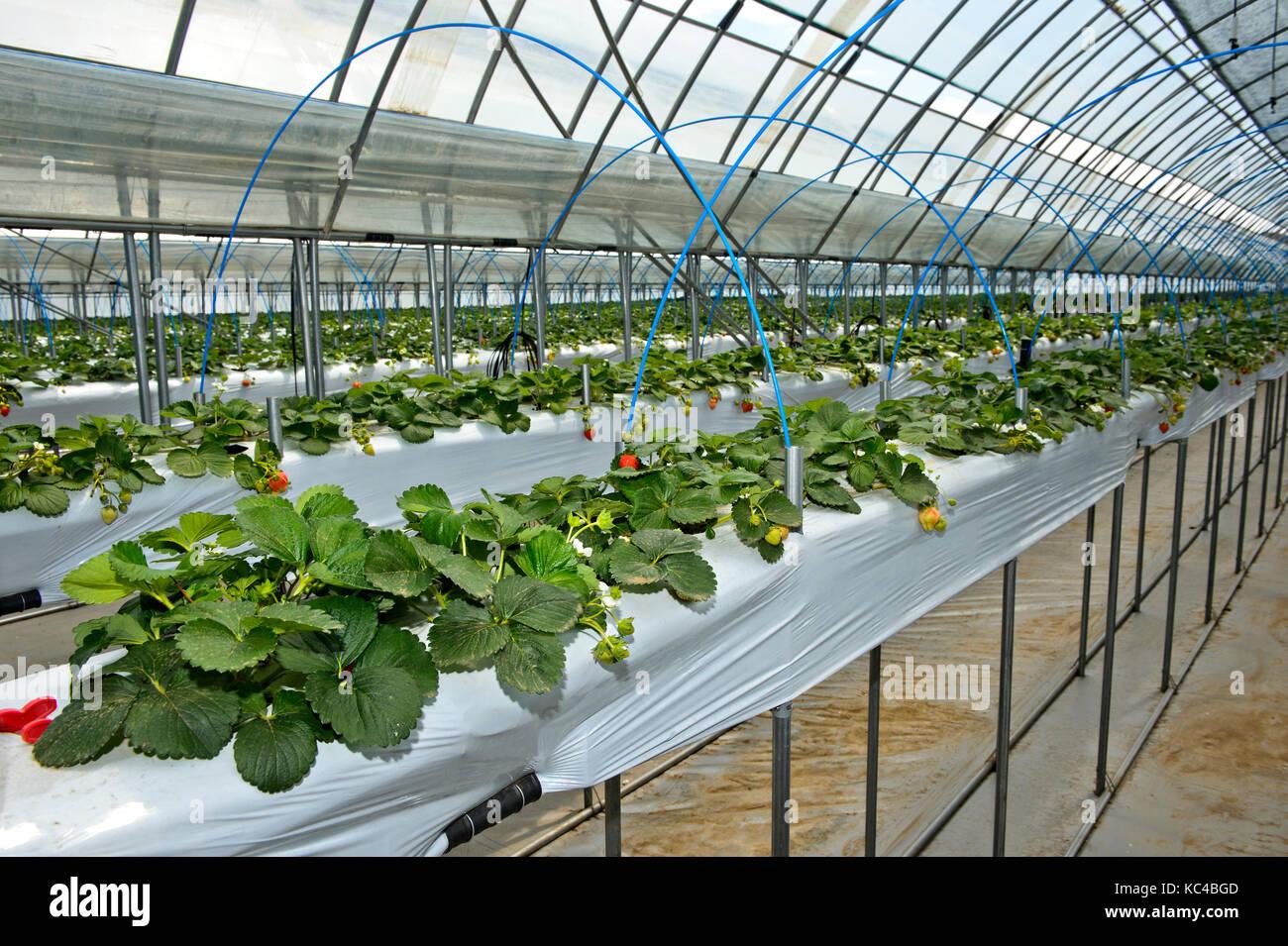 La produzione di fragole in suolo privo di substrati in una serra, mongolo-giapponese di joint venture fattoria Immagini Stock