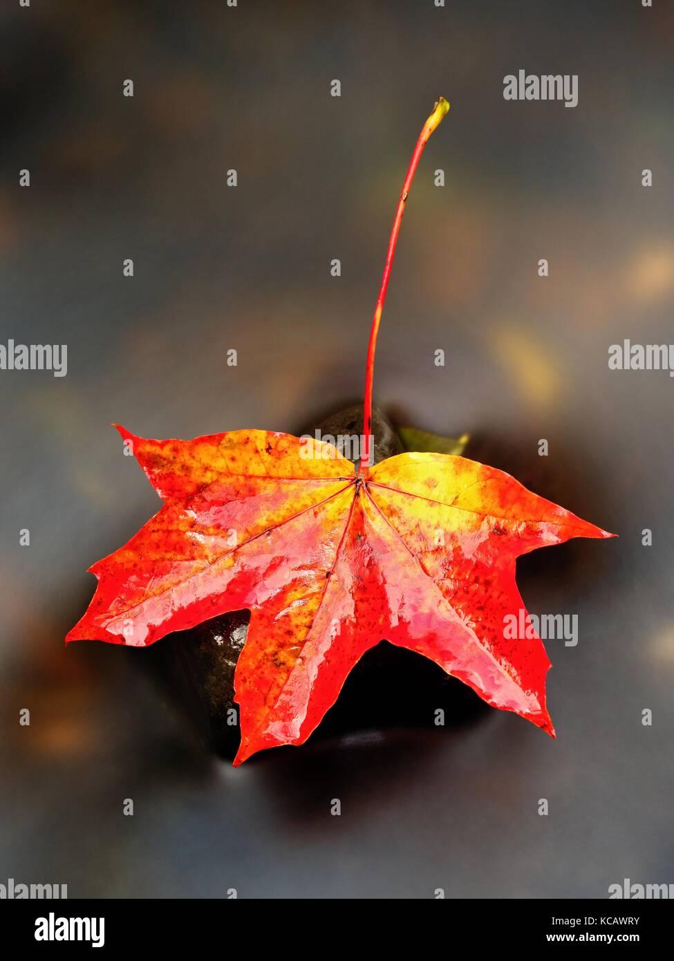 La natura in autunno. Dettaglio di marcio rosso arancione maple leaf. caduta foglie giaceva su pietra scura in specchio Immagini Stock