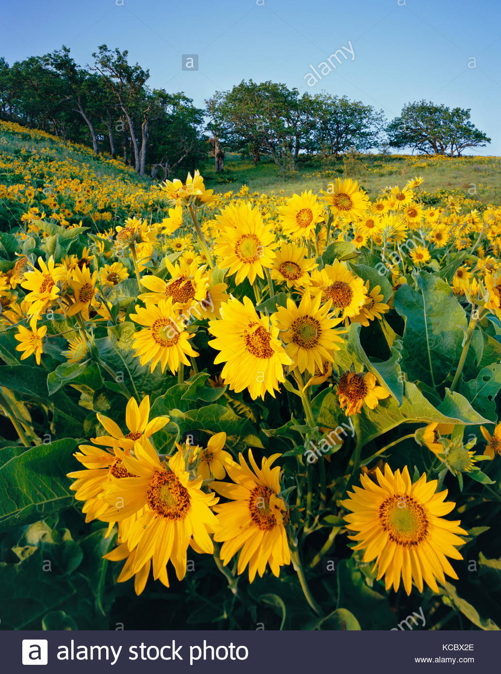 Balsamroot e querce di Sunrise, Tom McCall Nature Preserve, Columbia River Gorge NSA, Oregon Immagini Stock