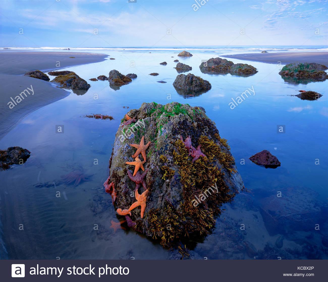 Stelle di mare e roccia, il Parco Nazionale di Olympic, Washington Immagini Stock