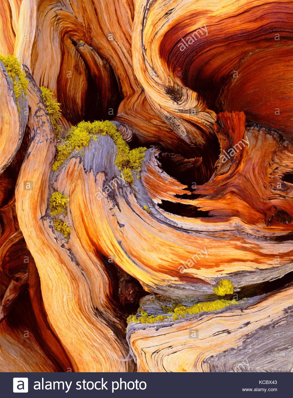 Dettaglio di antichi pini Bristlecone, Parco nazionale Great Basin, Nevada Immagini Stock