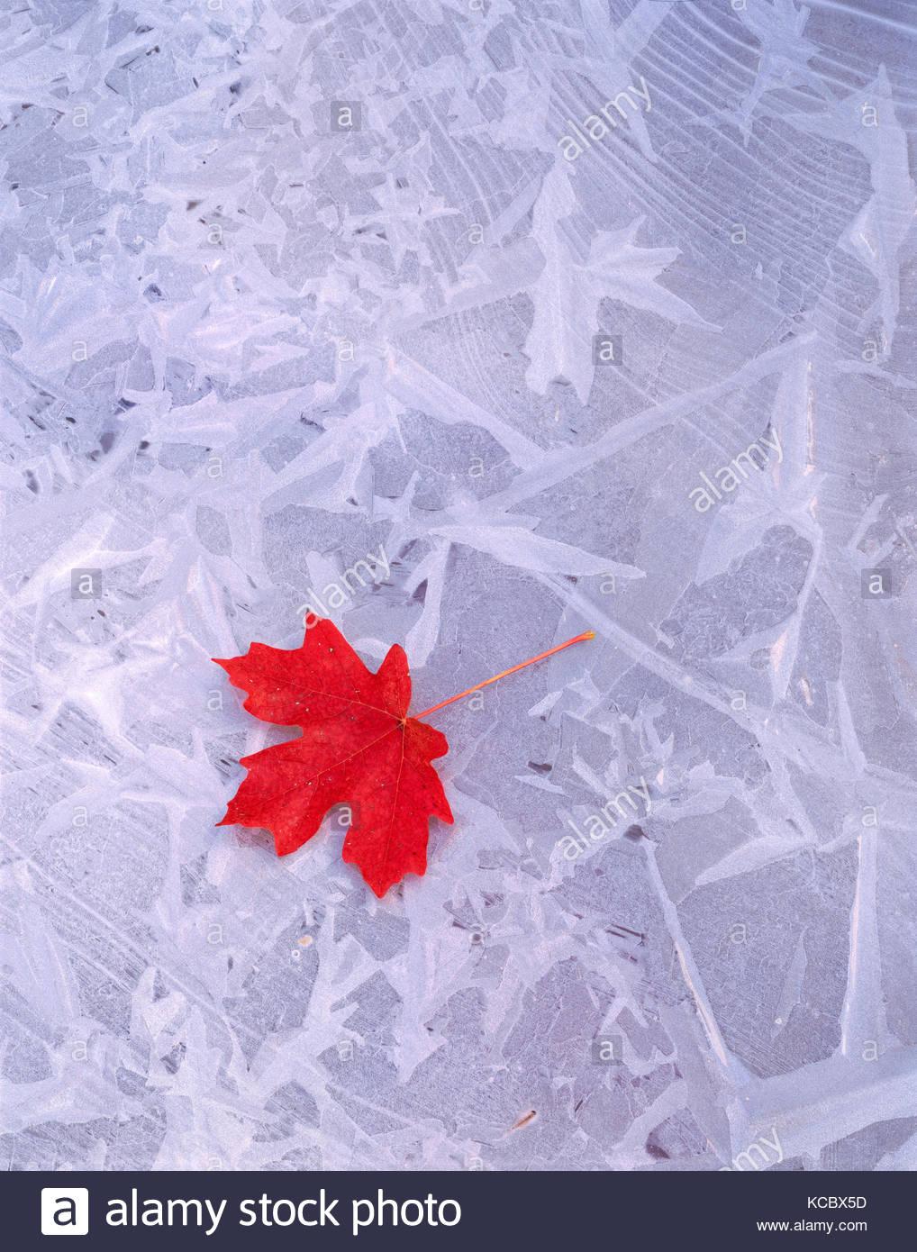 Bigtooth Maple Leaf su ghiaccio, il Parco Nazionale di Zion, Utah Immagini Stock