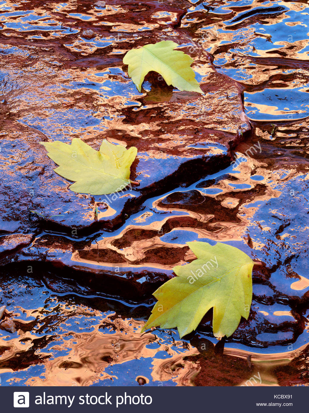 Foglie di Boxelder caduto sulla molla infiltrarsi, Kolob Canyon, il Parco Nazionale di Zion, Utah Immagini Stock