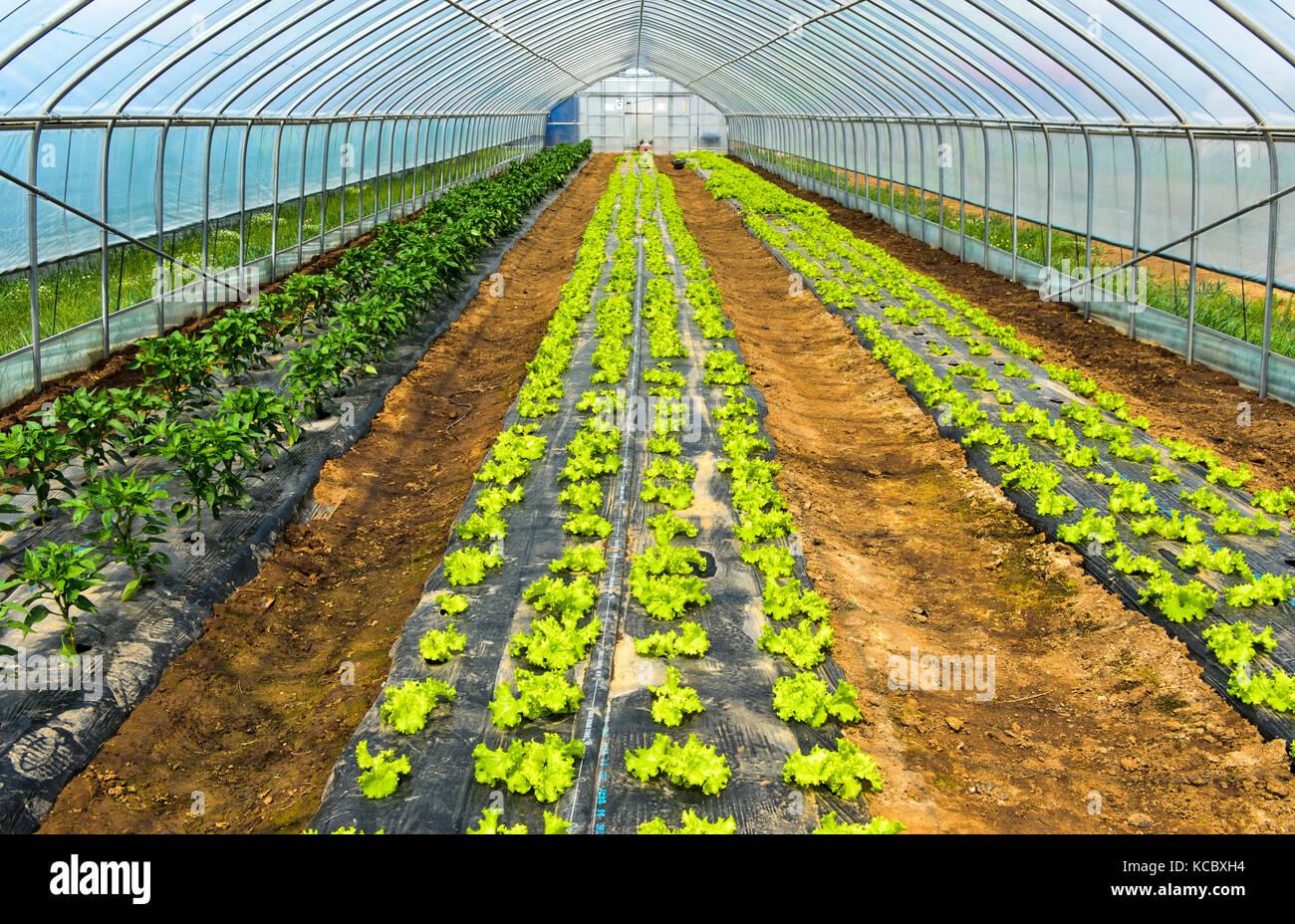 Coltivazione di lattuga in lamina tunnel, azienda agricola quotidiana llc, songino khairkhan, Mongolia Immagini Stock