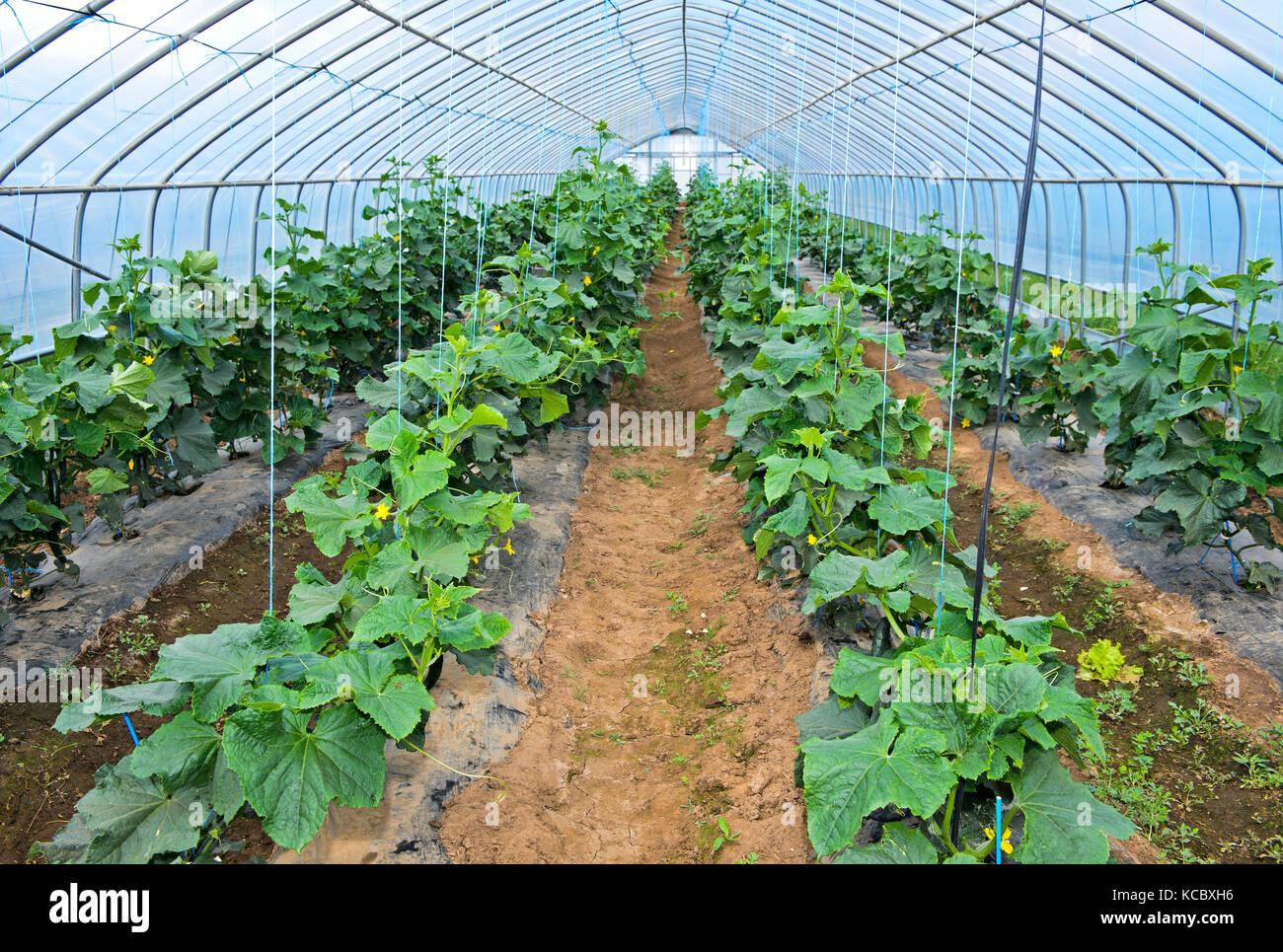 La coltivazione di cetriolo in lamina tunnel, azienda agricola quotidiana llc, songino khairkhan, Mongolia Immagini Stock