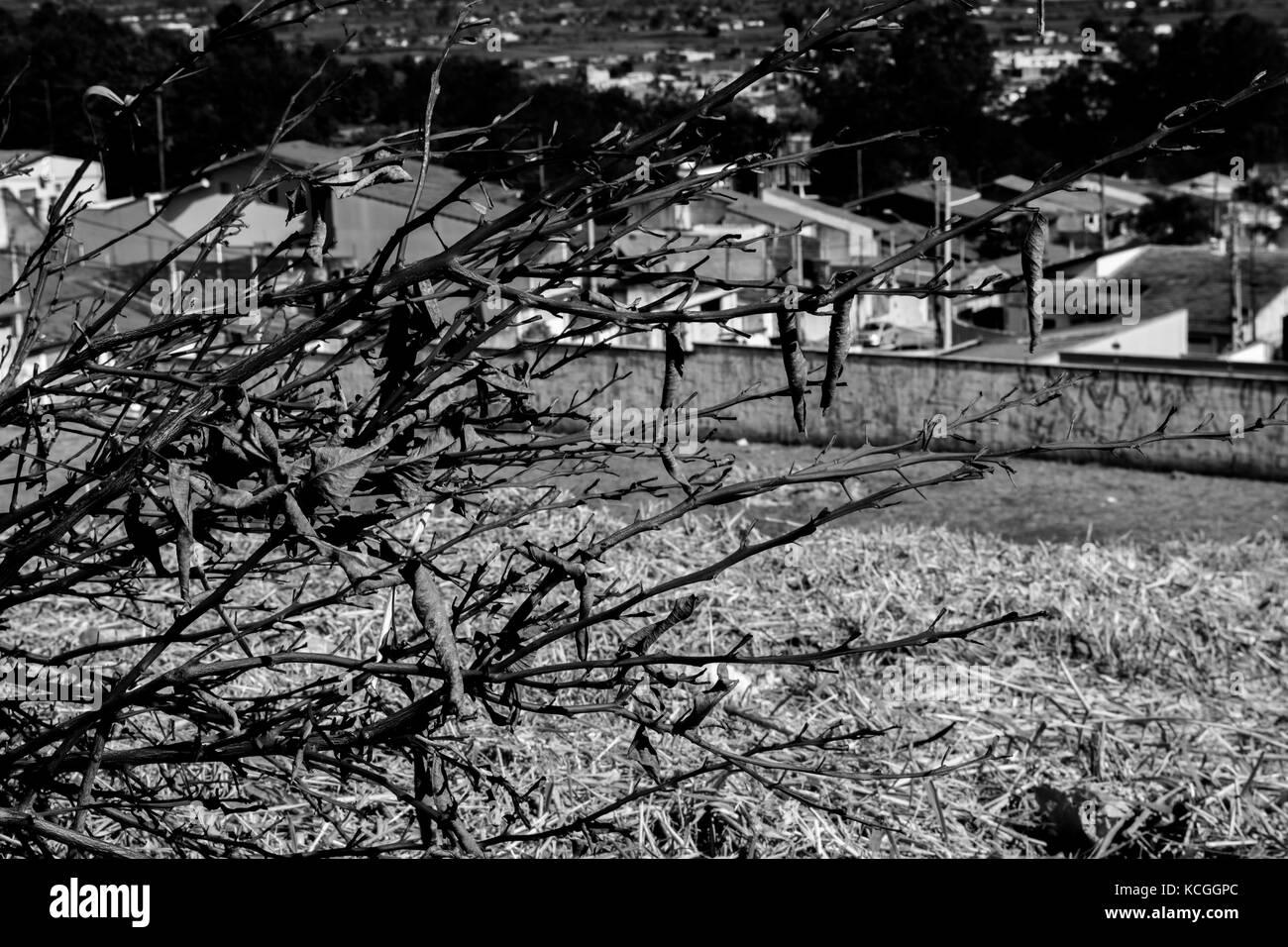 Arbusto no brasil Immagini Stock