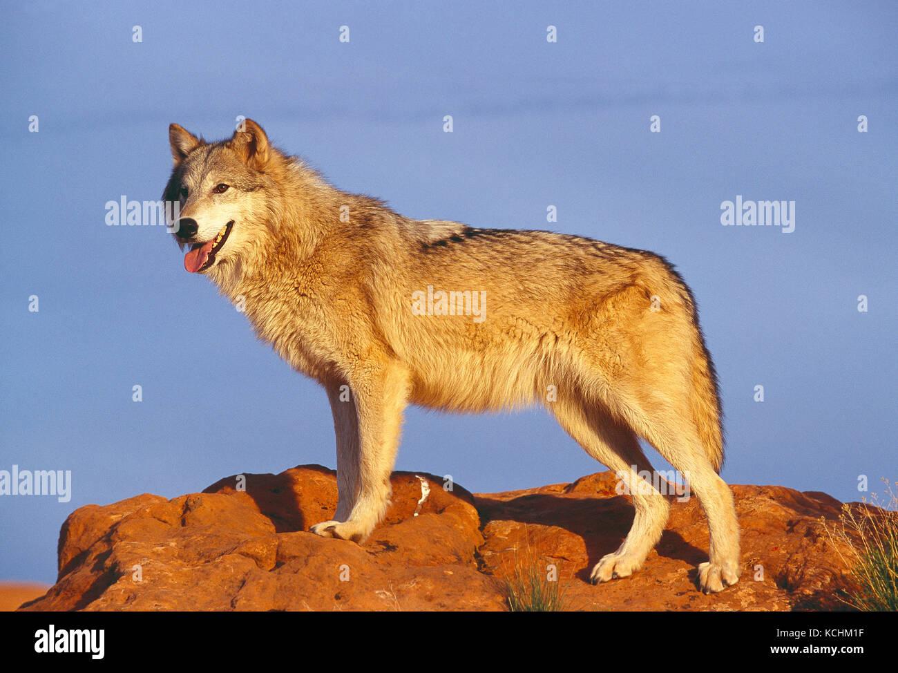 Stati Uniti d'America. La fauna selvatica. Lupo grigio. Immagini Stock