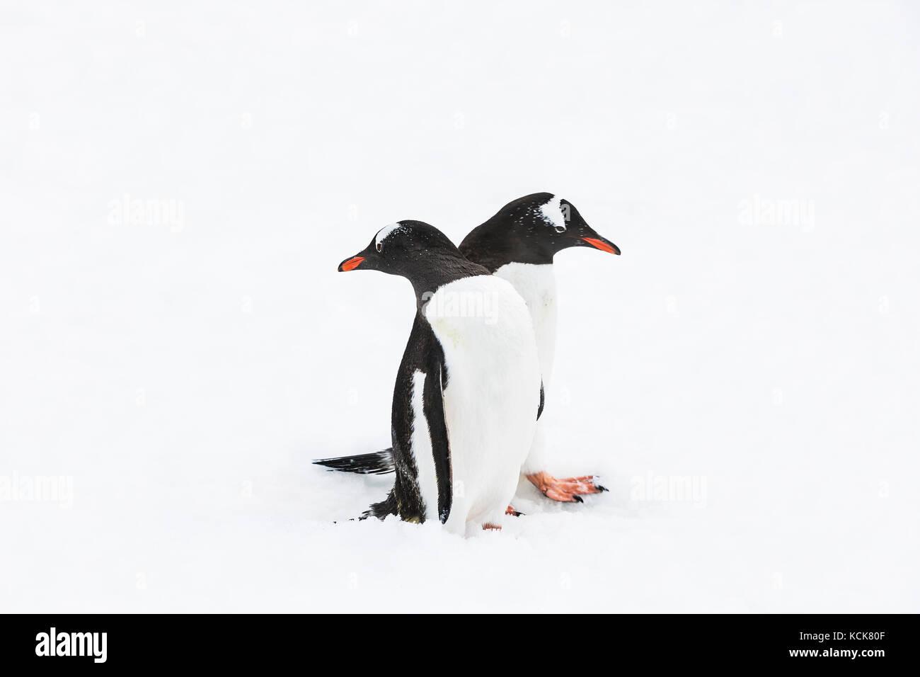 Due pinguini di Gentoo (Pygoscelis papua) folla ogni altro su un pinguino autostrada, danco costa, penisola antartica, Immagini Stock