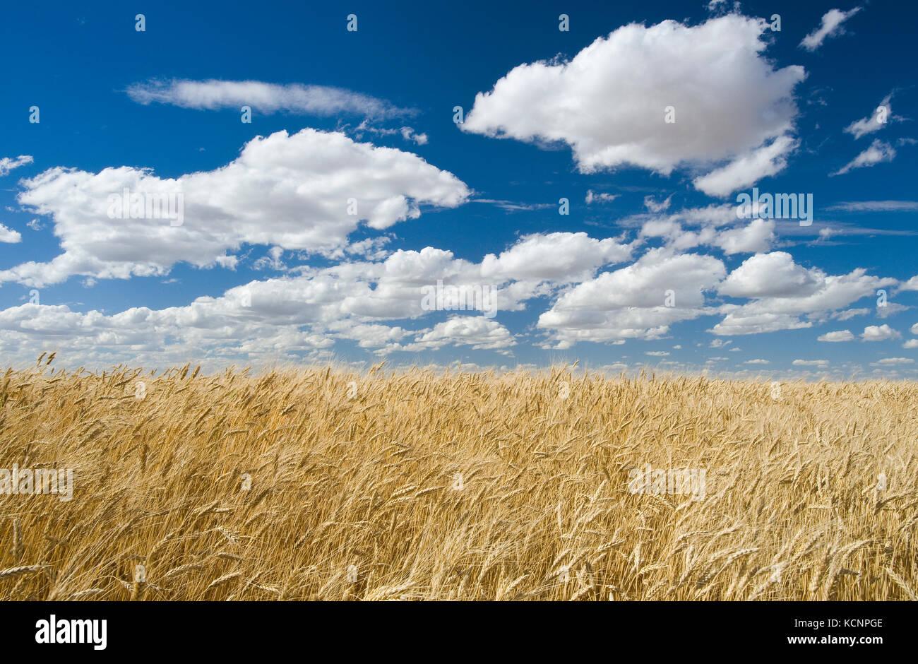 Un maturo, Harvest pronto il frumento duro campo, vicino ponteix, Saskatchewan, Canada Immagini Stock