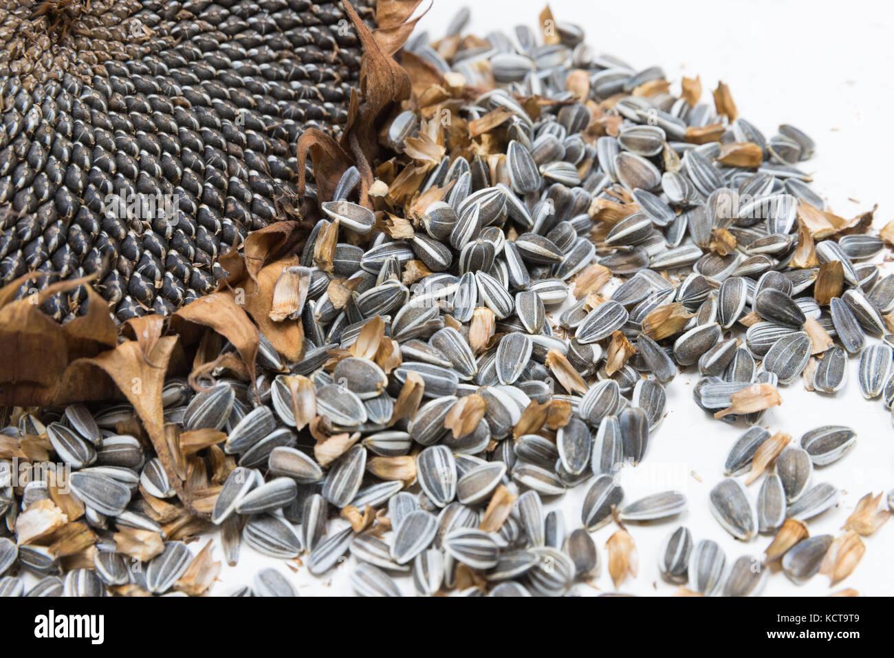 Teste di semi di girasole Semi di raccolto Immagini Stock