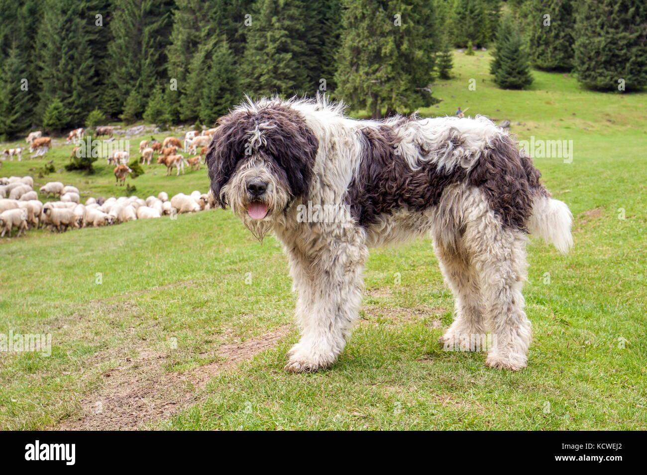 Il Cane Pastore A Guardare La Mandria Di Mucche E Pecore In Montagna