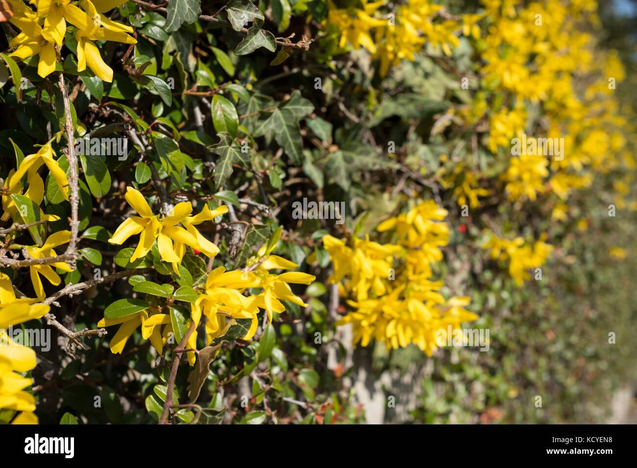 Fiori Gialli Coltivati.Hedge Con Fiori Gialli Di Coltivazione In Primavera Foto
