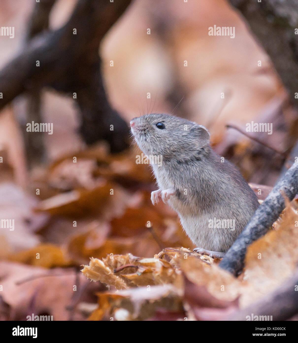 Mouse in piedi in foglie di autunno nella foresta del nord est ontario, Canada Foto Stock