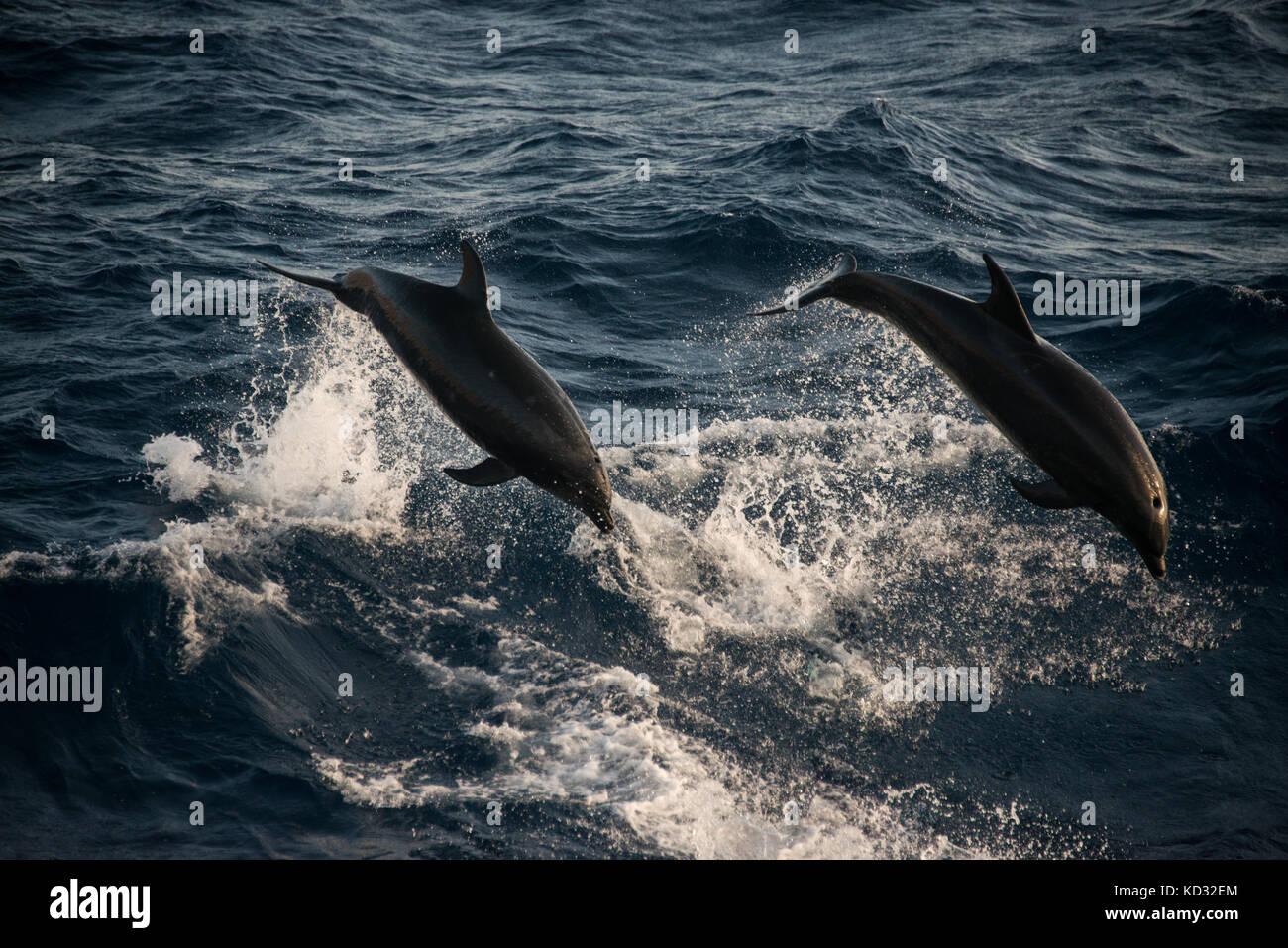 I delfini facendo salti acrobatici, Guadalupe, in Messico Immagini Stock