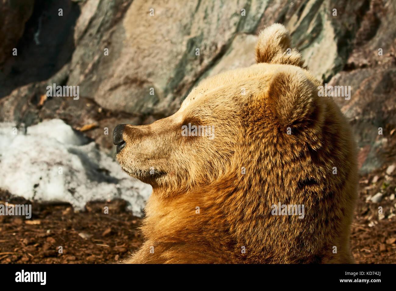 Ritratto di un orso bruno in un profilo Immagini Stock