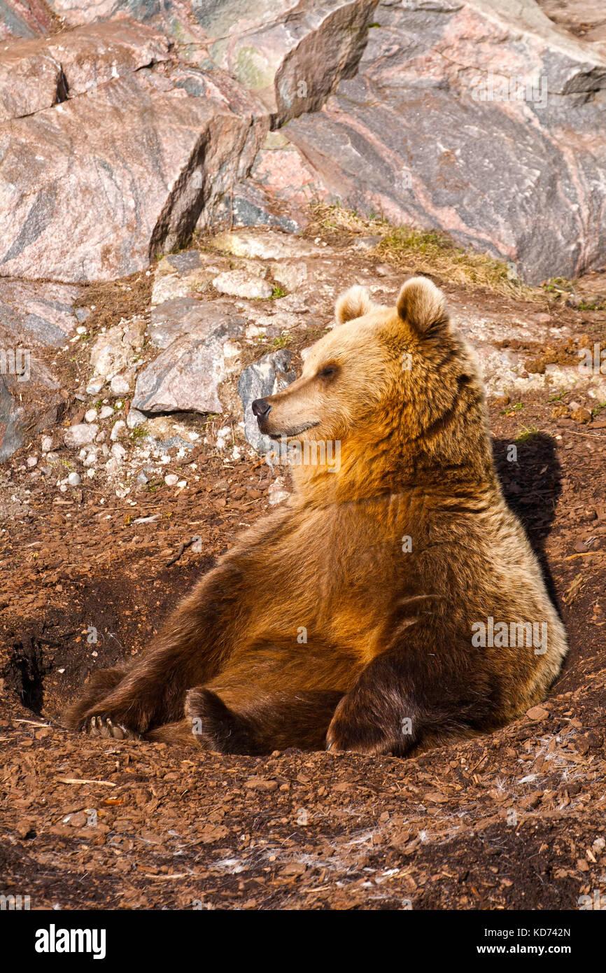 L'orso bruno si crogiola al sole di primavera Immagini Stock
