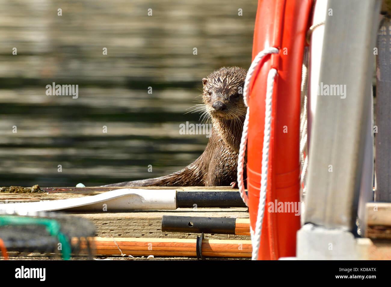 Un timido Lontra di fiume (Lutra canadensis); nascondersi dietro alcune apparecchiature su nla dock presso il punto Immagini Stock