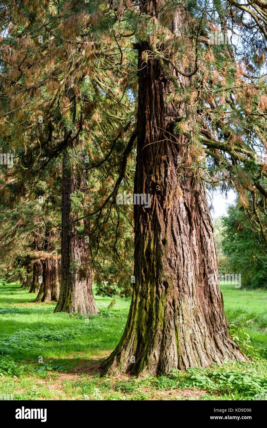 Allineamento dei giganteschi alberi di sequoia. Foto Stock