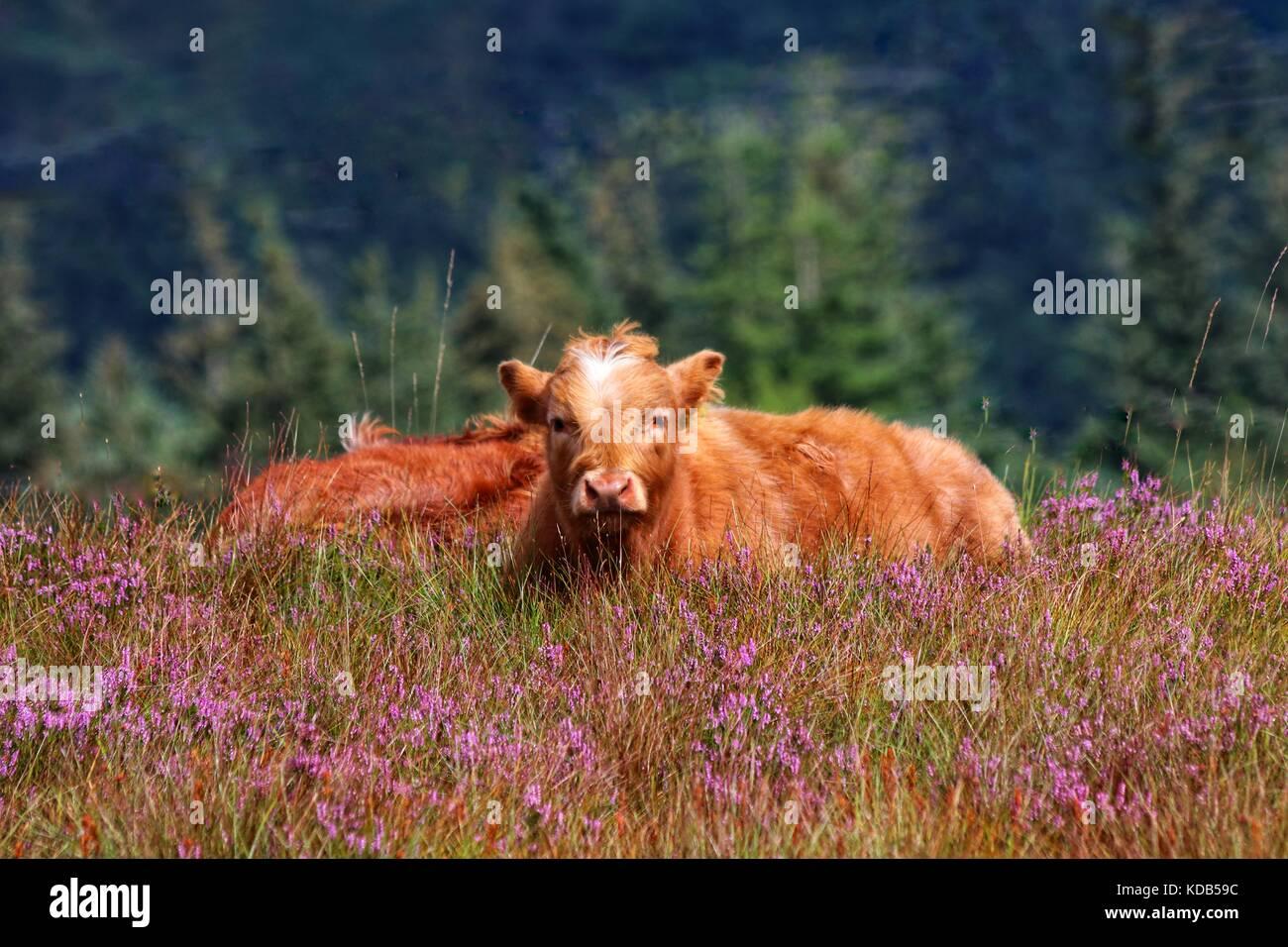 Highland bovini in Scozia, Highlands Immagini Stock