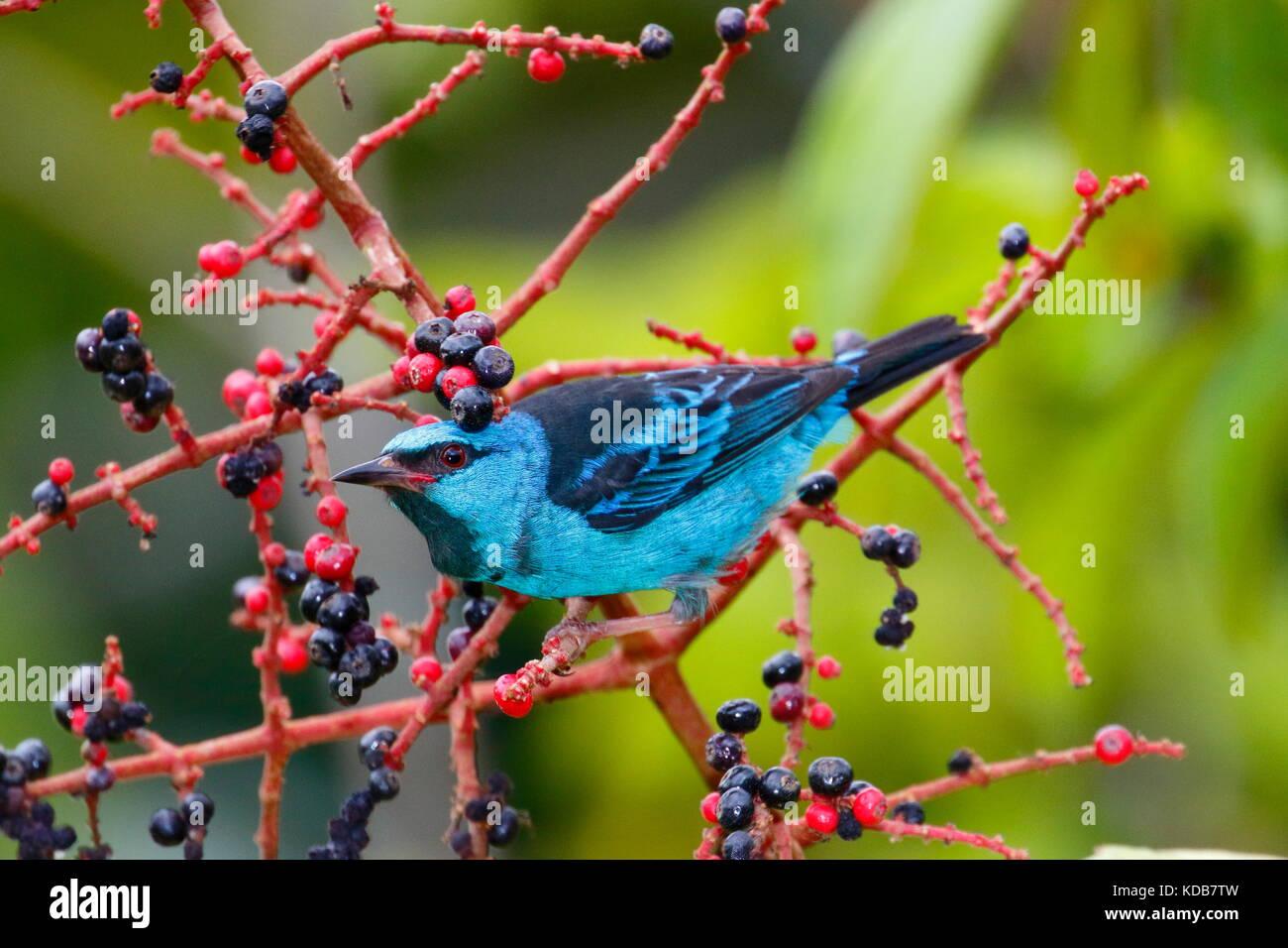 Un dacnis blu o turchese honeycreeper, Dacnis cayana, rovistando su melastome frutta. Immagini Stock