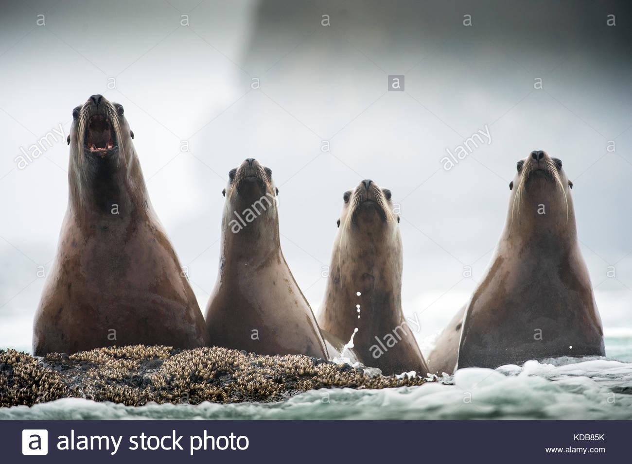 Quattro adolescente Steller leoni di mare, Eumetopias jubatus. Immagini Stock