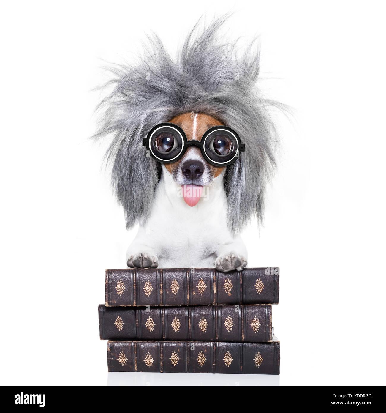 Smart ed intelligente di jack russell cane con occhiali nerd spuntavano  lingua indossando un capelli grigi a646b1a9b885