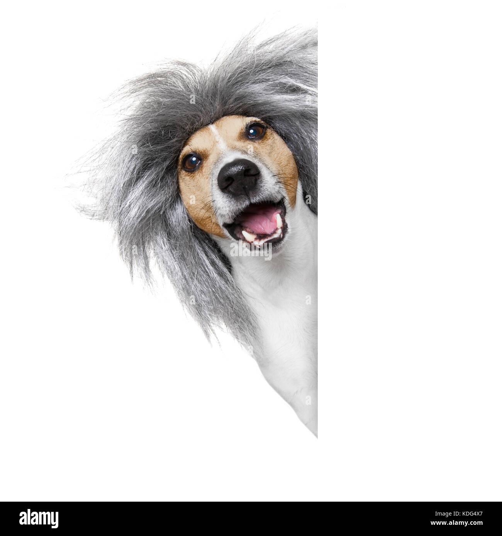Smart e intelligente o stupido nerd jack russell cane che indossa un  capelli grigi parrucca  0d96d2cc4958